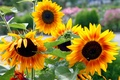 Picture sunflower, Park, petals, garden