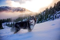 Picture clouds, forest, husky, dog, nature, fog, winter, mountains, snow, animal, dog