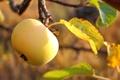Picture leaves, Apple, garden, fruit