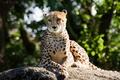 Picture stone, the sun, cat, Cheetah