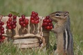 Picture berries, basket, Chipmunk