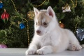 Picture tree, new year, puppy, husky, breed