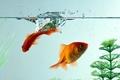 Picture macro, water, goldfish, aquarium, fish