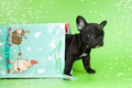 Picture baby, package, puppy, French bulldog