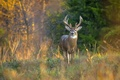 Picture autumn, forest, grass, trees, deer, horns