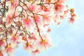 Picture flowers, pink, branch, Magnolia