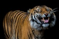 Picture language, tiger, smile, fangs, black background