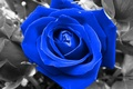 Picture blue, flower, rose