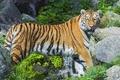Picture stream, stones, predator, the Amur tiger