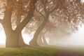 Picture trees, fog, morning