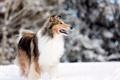 Picture rough collie, dog, snow, park lake
