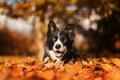 Picture nature, autumn, dog