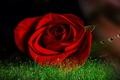 Picture flower, drops, macro, Rosa, rose, Bud, red