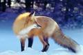 Picture winter, Fox, Fox
