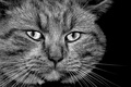 Picture b/W, face, cats