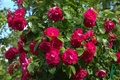 Picture Bush, roses, raspberry