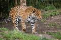 Picture predator, zoo, power, walk, Jaguar, wild cat, spot