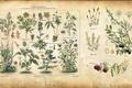 Picture plants, vintage, illustration, illustration, spice