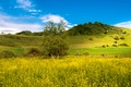 Picture flowers, the bushes, field, meadow, yellow, hills, summer, grass