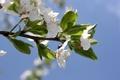 Picture flowers, cherry, the sky, bozhaya ladybug