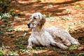 Picture dog, english setter, nature