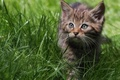 Picture walk, forest cat, grass, wild cat, kitty