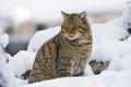 Picture snow, predator, wild, wildcat