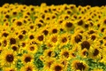 Picture sunflowers, the sun, summer, yellow, field, a lot, bokeh