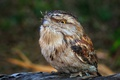 Picture Tawny Frogmouth, bird, nature, Smoky legoscia