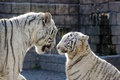 Picture cat, family, pair, profile, blue eyes, white tiger, tigress, tiger