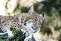 Picture cat, face, snow, lynx, ©Tambako The Jaguar