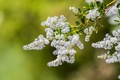 Picture macro, branches, background, flowering, inflorescence, Ceanothus, Krasnokamenki