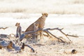 Picture stay, log, cubs, cheetahs, grass, wild cats