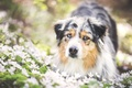 Picture flowers, dog, meadow, Wallpaper from lolita777, Aussie