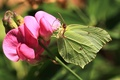 Picture butterfly, macro, Brimstones, The limonite, flower