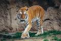 Picture walk, tiger, predator, face, wild cat