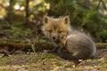 Picture cub, Fox, Fox, look, baby