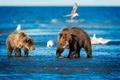 Picture sea, birds, bears