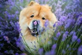 Picture field, Chow, cute, lavender, face, red, funny, puppy, flowers, portrait, look, dog