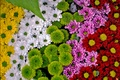 Picture a lot, colorful, chrysanthemum