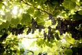 Picture brush, grapes, vine, leaves
