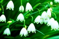 Picture flowers, flowers, green, widescreen, widescreen, flowers, background, white, HD wallpapers, Wallpaper, full screen, bells, background, ...