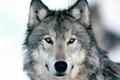 Picture winter, wolf, wild