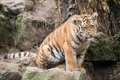 Picture cat, look, tiger, stone, moss, kitty, tiger, Amur