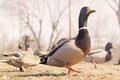 Picture bird, duck, Drake