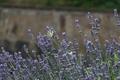Picture Park, butterfly, summer, Crimea, lavender