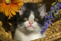 Picture flowers, look, face, baby, kitty, basket