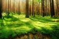Picture greens, forest, grass, rays, light, trees, open, trunks, pine