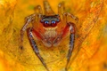 Picture vegetation, leaf, dry, leaves, autumn, eyes, Jumping Spider, paws, Salticidae, orange, flycatcher spiders, spider