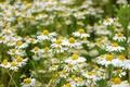 Picture field, chamomile, petals, garden, meadow